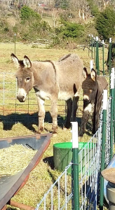 Two donkeys were all that remained of one Evergreen resident's property. Volunteers from Virginia Donkey Rescue provided new fencing and a shelter. (Photo by Melissa Mills)