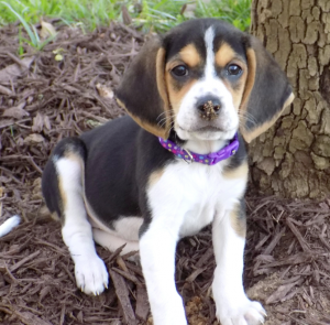 Beagles are scent hounds with great tracking instinct, evidenced by the dirt on Bailey's nose.